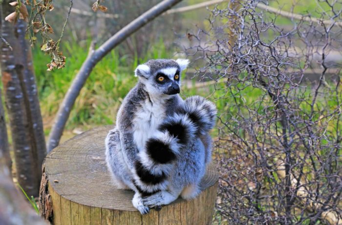 Lemur in london zoo