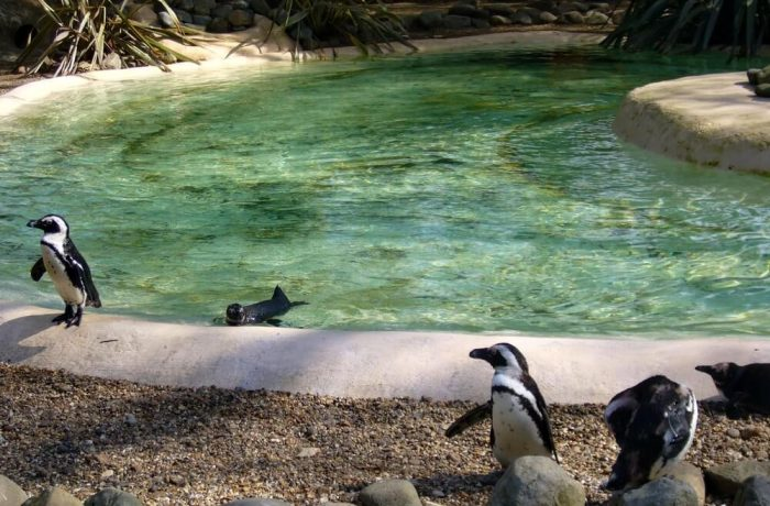 Penguins in London Zoo
